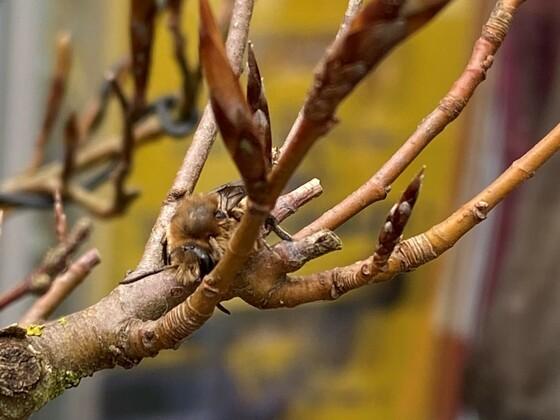 Biene im Bonsai